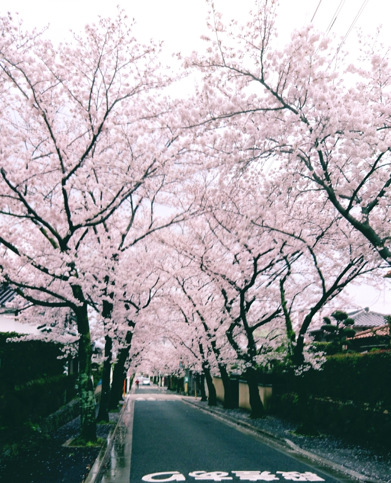 箕面の桜並木