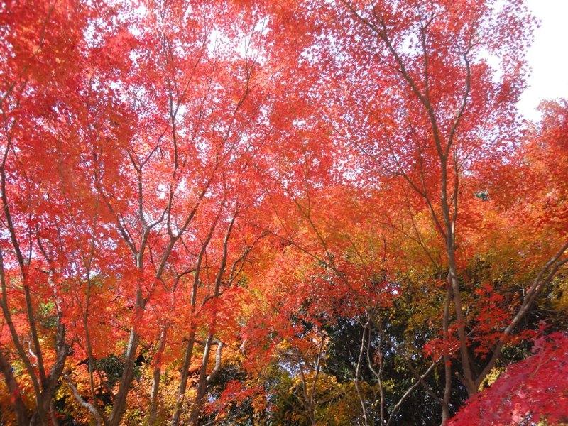 秋です!!紅葉です!!箕面です!!